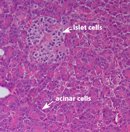 nl pancreas cells