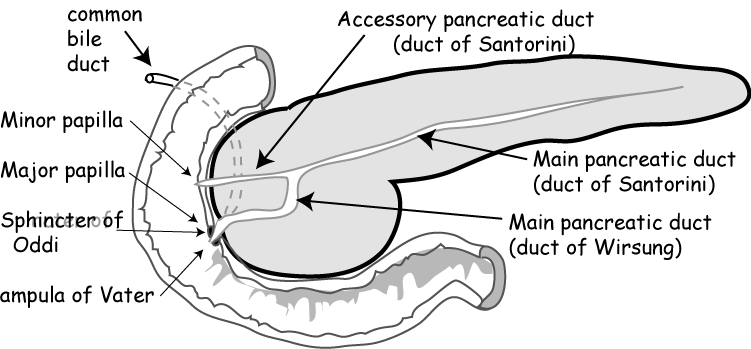 nl pancreatic duct 05